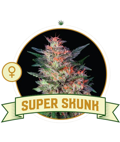 "CITY SEEDS BANK ""Super Skunk"""