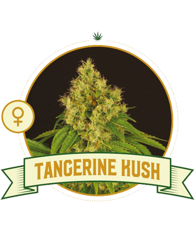 "CITY SEEDS BANK ""Tangerine..."