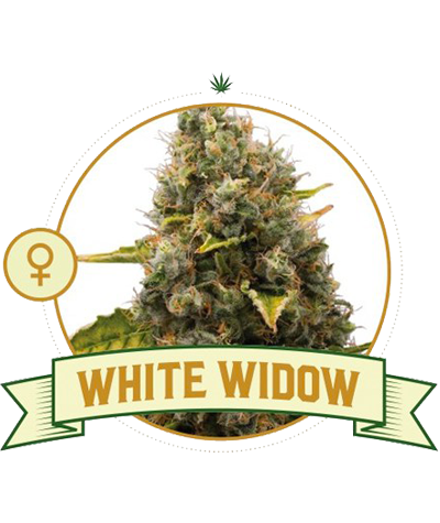 "CITY SEEDS BANK ""White Widow"""