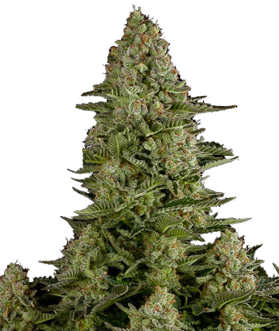 "DINAFEM ""White Widow"""