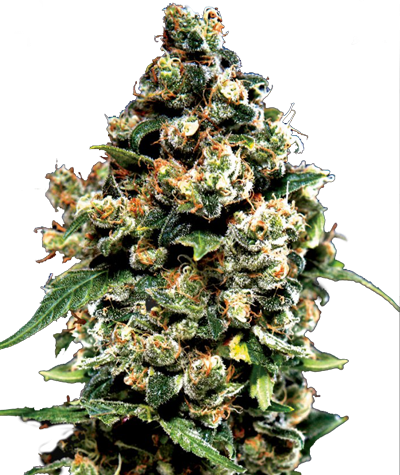 "GREEN HOUSE SEEDS ""Jack Herer"""