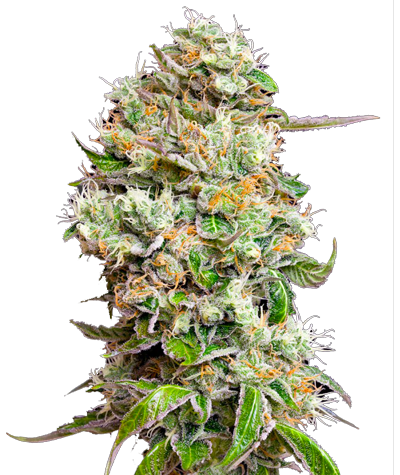 """GREEN HOUSE SEEDS """"King..."""