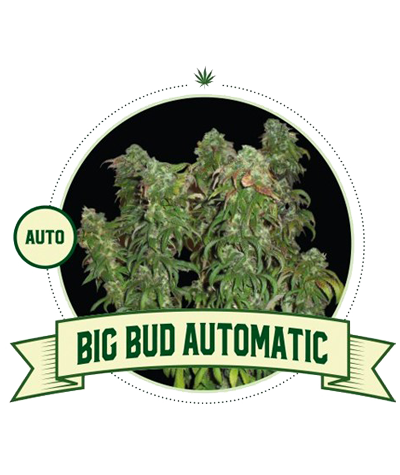"CITY SEEDS BANK ""Big Bud"" Auto"