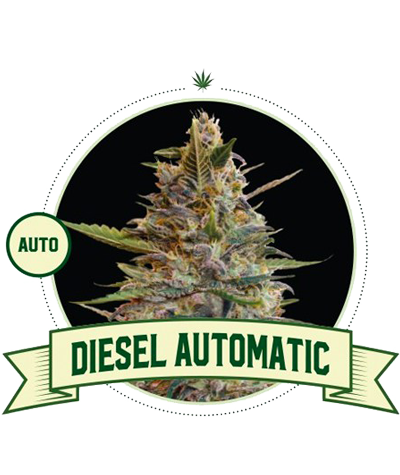 "CITY SEEDS BANK ""Diesel"" Auto"