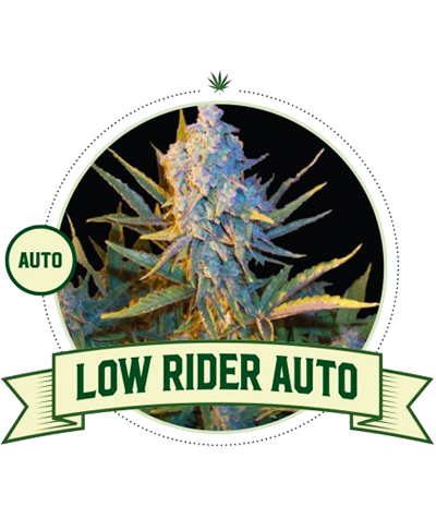 "CITY SEEDS BANK ""Low Rider""..."