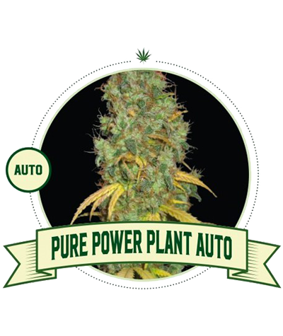 "CITY SEEDS BANK ""Pure Power..."