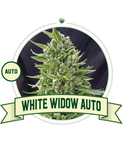 "CITY SEEDS BANK ""White..."
