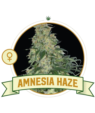 "CITY SEEDS BANK ""Amnesia Haze"""