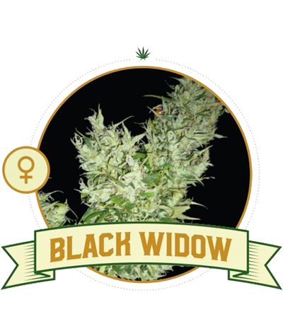 "CITY SEEDS BANK ""Black Widow"""