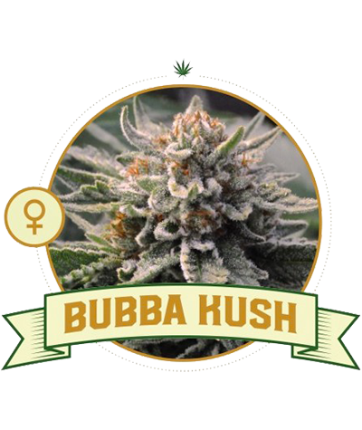 "CITY SEEDS BANK ""Bubba Kush"""