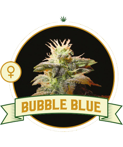 "CITY SEEDS BANK ""Bubble Blue"""