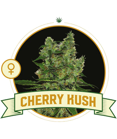 "CITY SEEDS BANK ""Cherry Kush"""
