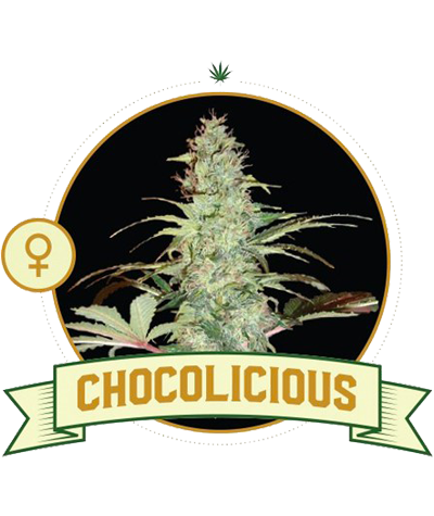 "CITY SEEDS BANK ""Chocolicious"""