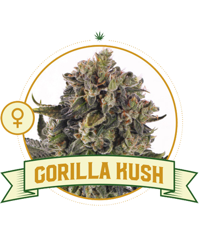 "CITY SEEDS BANK ""Gorilla Kush"""