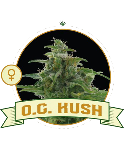 "CITY SEEDS BANK ""O.G. Kush"""