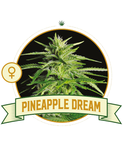 "CITY SEEDS BANK ""Pineapple..."