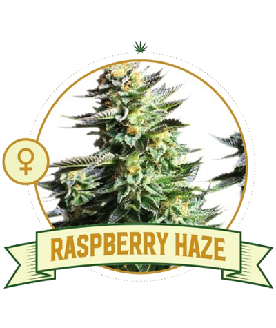 "CITY SEEDS BANK ""Raspbarry..."