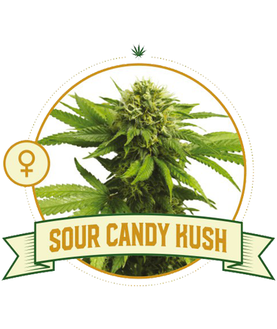 "CITY SEEDS BANK ""Sour Candy..."
