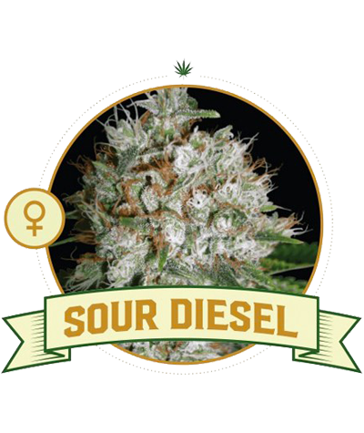 "CITY SEEDS BANK ""Sour Diesel"""